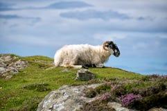Отдыхать овец стоковая фотография rf