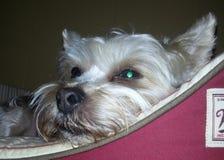 отдыхать собаки Стоковое Фото