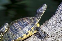 Отдыхать черепахи слайдера пруда Стоковое фото RF
