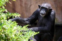 Отдыхать шимпанзе Стоковое Фото