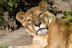 Отдыхать львицы дикого животного намордника взрослый Стоковое фото RF