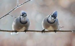 Отдыхать Blue Jays Стоковые Фотографии RF