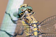 Отдыхать Dragonfly; определенный Стоковое фото RF