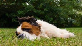Отдыхать St Bernard Стоковая Фотография RF