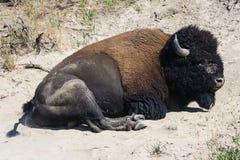 Отдыхая американский буйвол в национальном парке Вайоминге США Йеллоустона Стоковые Изображения