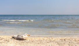 Отдыхая альбатрос Стоковые Фото
