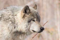 Отдыхая волк тимберса в древесинах стоковая фотография rf