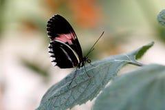 Отдыхая Дорис longwing Стоковое фото RF