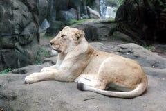 Отдыхая лев Стоковые Изображения RF