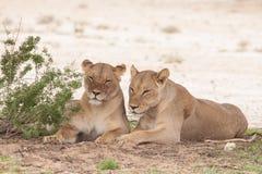 2 отдыхая женских льва Стоковое Изображение RF