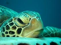 Отдыхая зеленая черепаха Стоковая Фотография