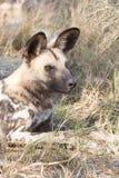 Отдыхая дикая собака Стоковое Изображение