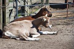 Отдыхая козы стоковая фотография