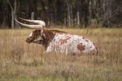 Отдыхая корова Стоковые Фото