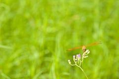 Отдыхая красный dragonfly на цветке Стоковая Фотография