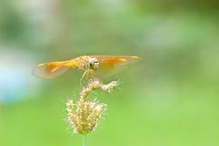 Отдыхая красный dragonfly на цветке Стоковое Изображение RF