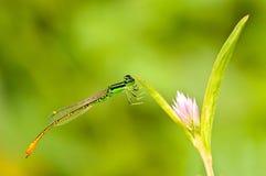Отдыхая красный dragonfly на цветке Стоковое фото RF