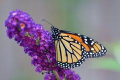 Отдыхая монарх стоковые изображения rf