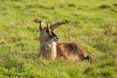 Отдыхая молодая антилопа соболя Стоковое Фото
