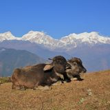 Отдыхая младенцы индийского буйвола Стоковые Изображения RF