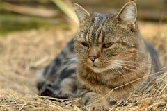 Отдыхая домашняя кошка Стоковое фото RF