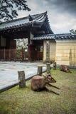 Отдыхая олени в Nara Японии Стоковые Фото