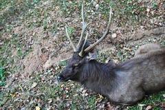 Отдыхая олени на траве Стоковая Фотография RF