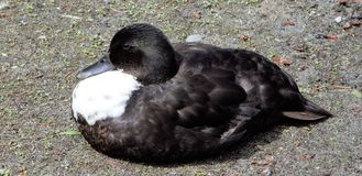 Отдыхая птица Стоковое Фото