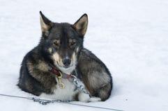 Отдыхая собака розвальней Стоковое Изображение