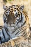 отдыхая тигр Стоковые Изображения RF