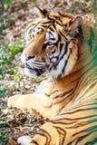 отдыхая тигр Стоковое фото RF