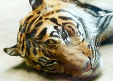отдыхая тигр Стоковая Фотография