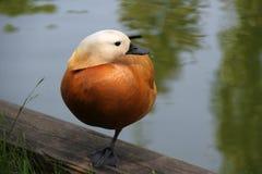 Отдыхая утка прудом Стоковая Фотография RF