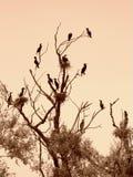 Отдыхая черные птицы на дереве Стоковая Фотография