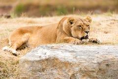 Отдыхая львица Стоковые Фото