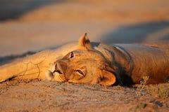 Отдыхая львица, Kalahari Стоковые Изображения RF