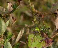 Отдыхая Dragonfly Стоковое фото RF