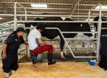 официальная выставка доя от коровы молока Стоковые Фото
