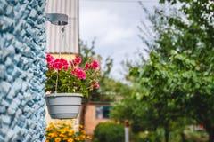 Оформление вне дома, розовые гераниумы в вися цветочном горшке на стен стоковая фотография rf