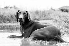 Охлаждать собаки указателя внутри лужицы воды стоковое фото rf