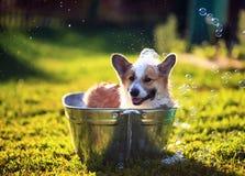 Охлажено милое смешное положение собаки щенка в тазе металла, помытый на улице летом на горячий солнечный день с сияющим мылом стоковое изображение