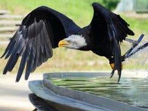Охота тренировки орла моря стоковые изображения rf