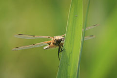 Охота Dragonfly Стоковая Фотография RF