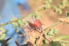 Охотиться агрессивный паук Стоковая Фотография RF