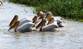 Охотиться белые пеликаны на озере в птичьем заповеднике Djoudj национальном, Сенегал Стоковое Изображение