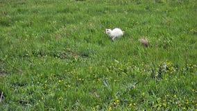 Охотиться белый кот Стоковое фото RF