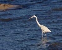 Охотиться большой Egret Стоковое Фото