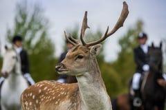 Охотиться для оленей Стоковая Фотография RF
