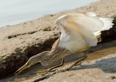 Охотиться индийская цапля пруда ah женщины торговлями моря Индии goa bizhyuteriya индийские близкие Стоковая Фотография RF