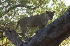 Охотиться львица взобрался вверх по дереву для того чтобы приобрести преимущество сверх после импалы стоковая фотография